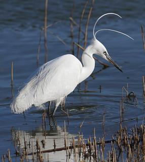 Breeding plumaged little egret