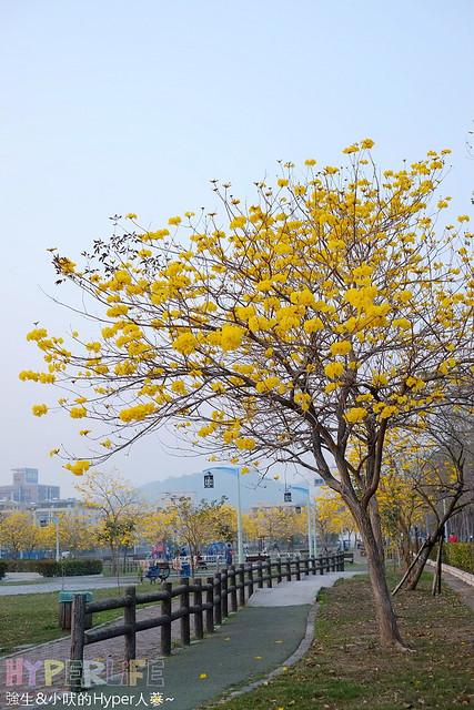 廍子公園 黃花風鈴木 (2)