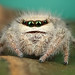 Large female Phidippus Tux posing by Andres Moline