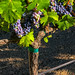 Grapes-2-St Helena-0739