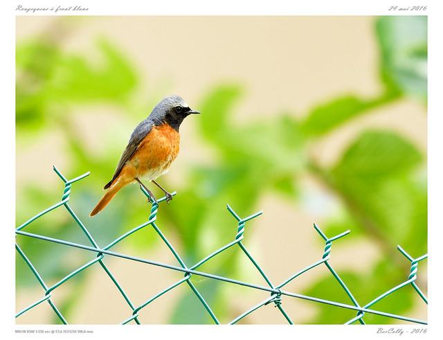 Rougequeue à front blanc | Common Redstart | Phoenicurus phoenicurus