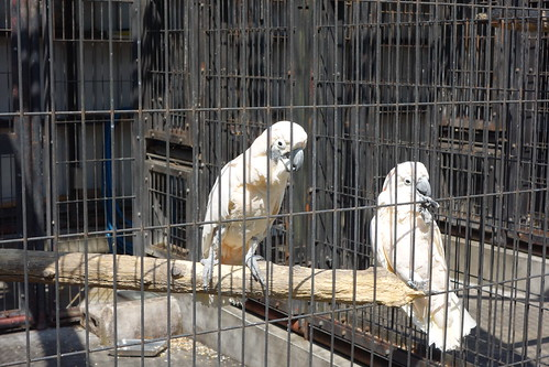 """parrot_3 """"大宮公園小動物園"""" で撮影したオウムの写真。 檻の中の止り木の上で左側が雄のオウムで右側が雌のオウム。 雌のオウムは嫌がって避けている。"""