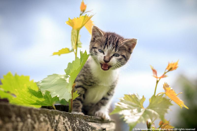 Motiv fotografiranja: mačke - Page 6 15859766198_9305a226eb_c