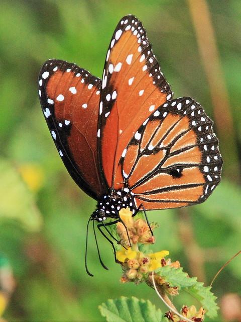 Queen butterfly 2-20141124