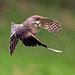 Sparrowhawk by Chas Moonie-Wild Photography