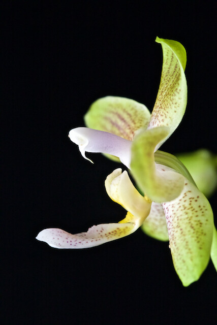Phalaenopsis  amboinensis f.flavida x celebensis 16049661694_57e14f6e2f_z