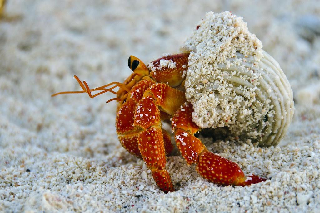Flinders Main Cay-Land Hermit Crab