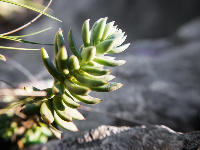 Orpin de Nice (Sedum sediforme) - Pale stonecrop