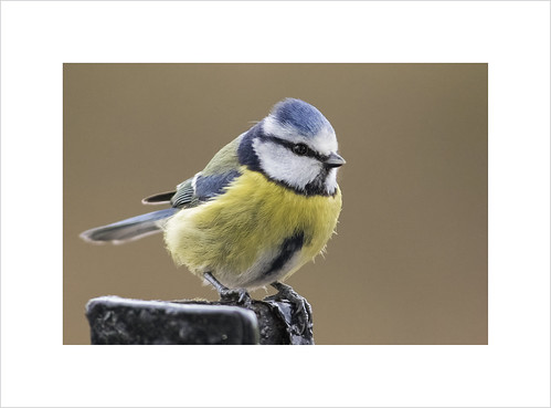 blue wild white cute bird nature beautiful beauty animal animals yellow garden colorful europe tit view natural wildlife small watching beak feather tiny perch perched colourful bluetit caeruleus parus perching cyanistes passerine