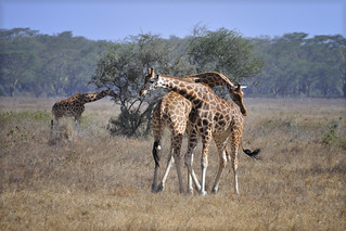 """Two male Rothschild giraffes in Lake Nakuru National Park in Kenya, East Africa engaged in """"necking"""" which is used to establish dominance"""