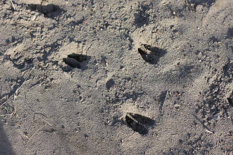 antelope tracks