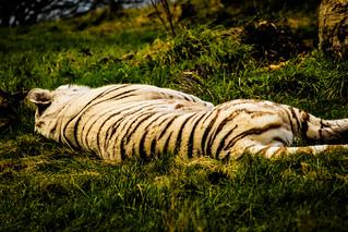 Big Cat Nap - White Bengal Tiger