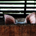 Peppa Pig?? by Regina Stroschoen