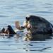 Sea Otter (Tim Melling)