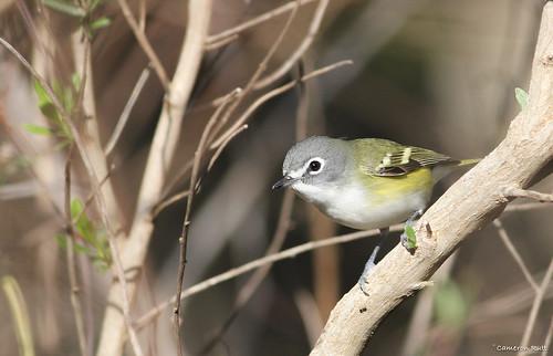 louisiana songbird vireo fortjackson blueheadedvireo vireosolitarius