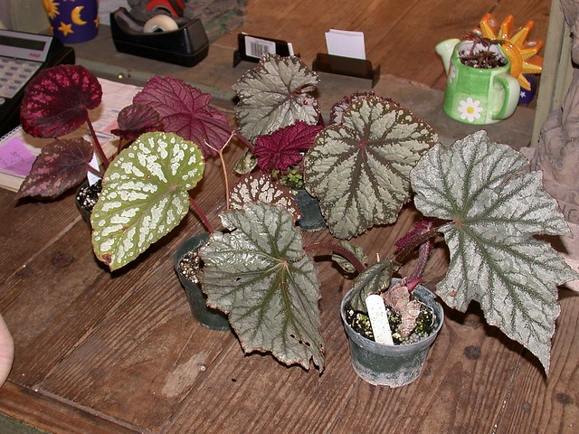 Begonia purchases