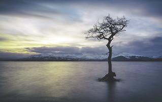 The Milarochy Tree