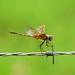 Dragonfly by Dijalma Cruz