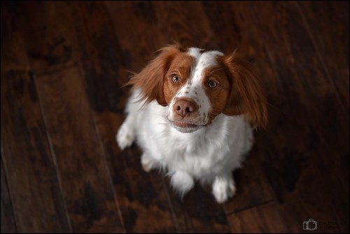 intense pretty stare freckle brittanyspaniel 12monthsfordogs littledoglaughedstories 12monthsfordogs2015 12monthsforeva