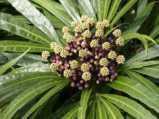 Osmoxylon lineare (Araliaceae)