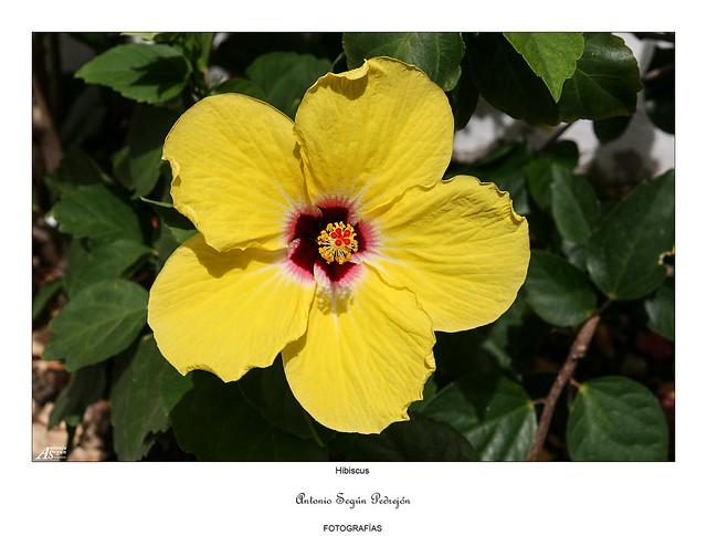 Hibiscus con hojas amarillas