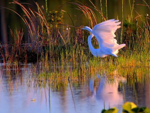 Great Egret takes flight HDR 01-20160911