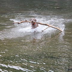#fenrir always has to get the biggest stick/log he can :stuck_out_tongue_winking_eye: #weimaraner #showoff #muscleman