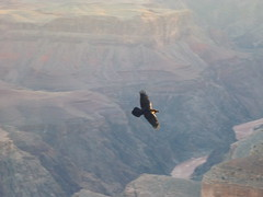 canyon, bird of prey, mountain, eagle, vulture, terrain, bird, condor, mountainous landforms,