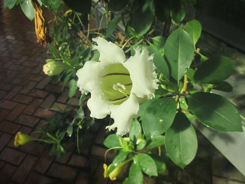 Solandra longiflora