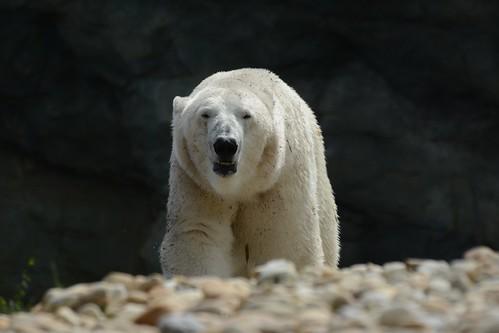 Eisbär Ranzo  im Tiergarten Schönbrunn