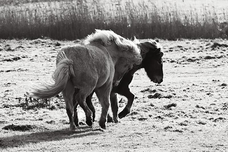 Icelandhorse13