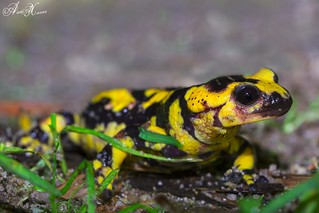 Salamandra-de-pintas-amarelas, Fire salamander (Salamandra salamandra) - em Liberdade [in Wild]