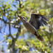 Kookabura and spider by M Hooper