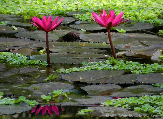 Red waterlilies - Shibpur Botanical Garden #Kolkata