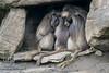 20150228 001 Gelada Baboon (Wm)