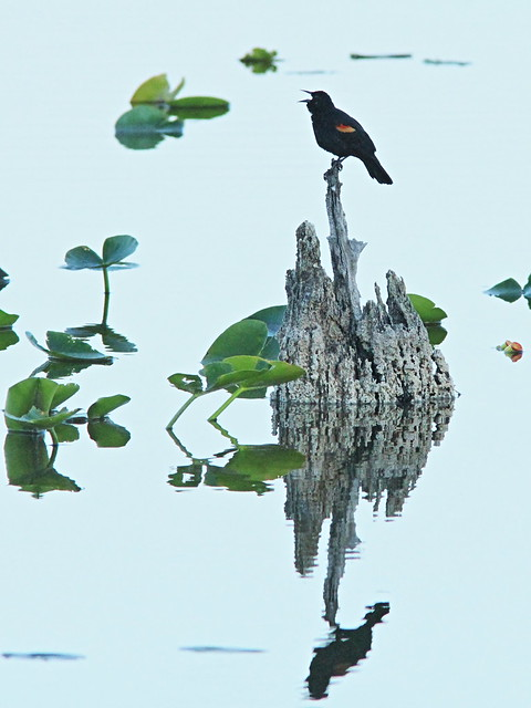 Red-winged Blackbird reflection 20150301