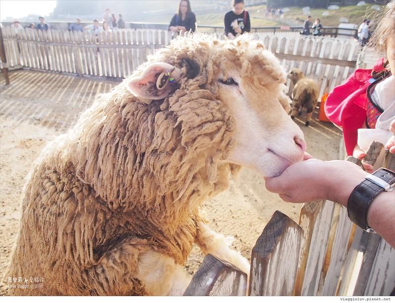 【南投 Nantou】清境農場青青草原綿羊秀 壯麗的合歡山景色 Cingjing farm @薇樂莉 Love Viaggio | 旅行.生活.攝影