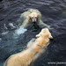 Polar bears playing in the water
