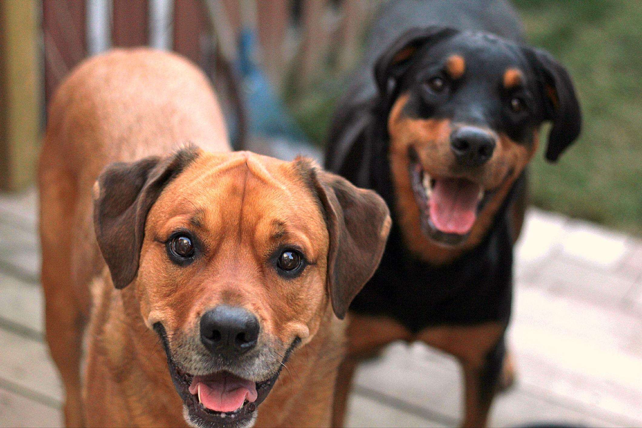 Chloe & Sasha - Mastweiler Rottweiler