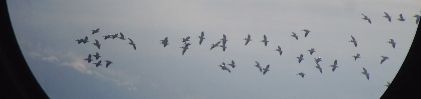 Most of 61 American White Pelicans Walter F George Dam GA 011015
