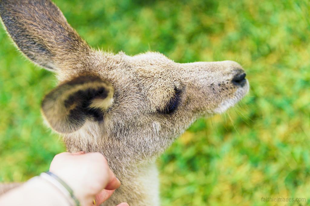 Cuddling a baby kangaroo