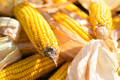 dish(0.0), sweet corn(1.0), food grain(1.0), yellow(1.0), vegetarian food(1.0), maize(1.0), corn on the cob(1.0), produce(1.0), food(1.0), corn on the cob(1.0), cuisine(1.0), snack food(1.0),