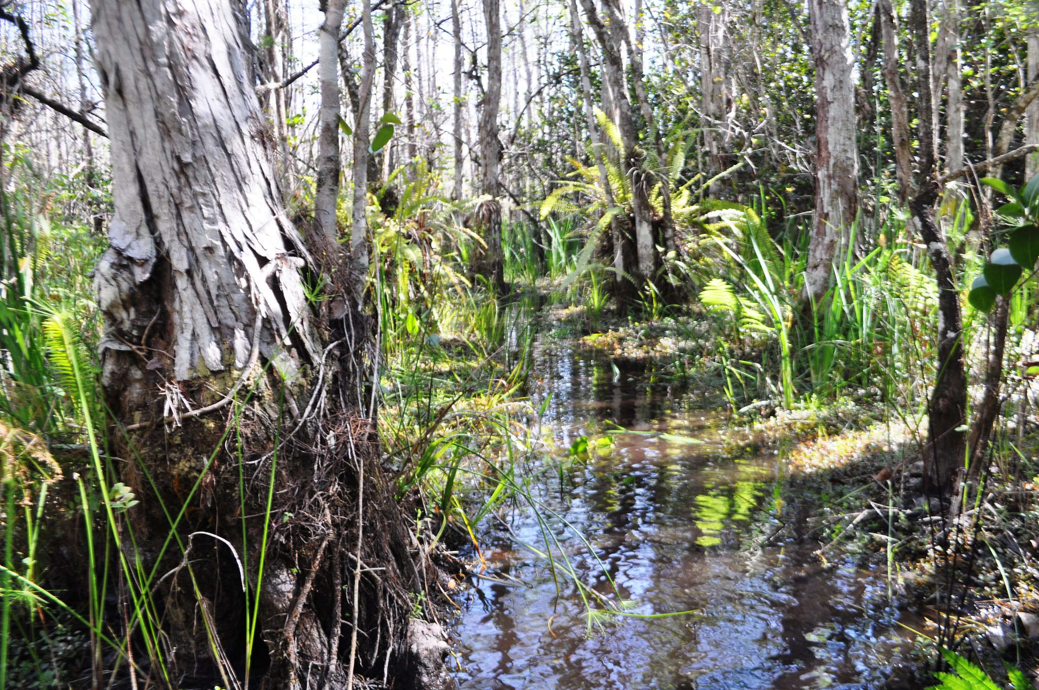 Swamp Walk with Clyde Butcher's Big Cypress Gallery, Florida, Feb. 14, 2015