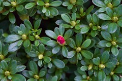 evergreen, flower, leaf, plant, flora, green, groundcover,