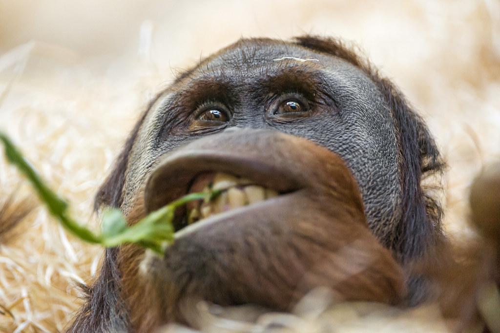 Funny oranguatan