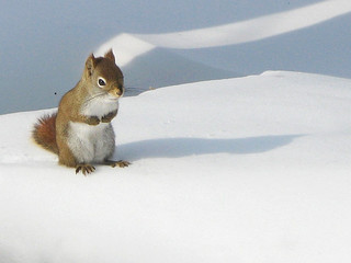 Red Squirrel by Gilles Gonthier