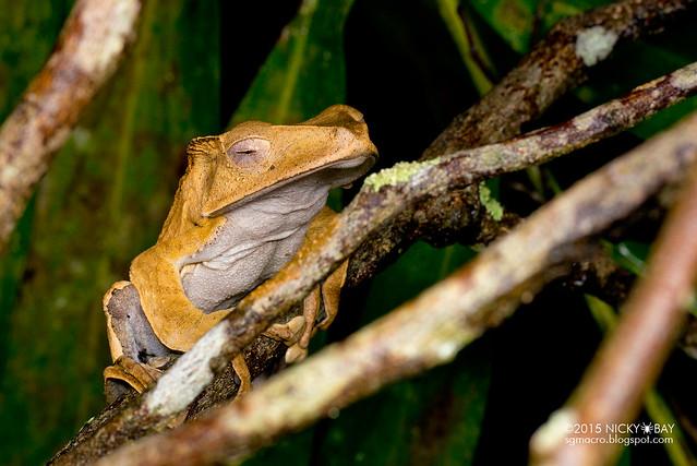 File-eared tree frog (Polypedates otilophus) - DSC_2803