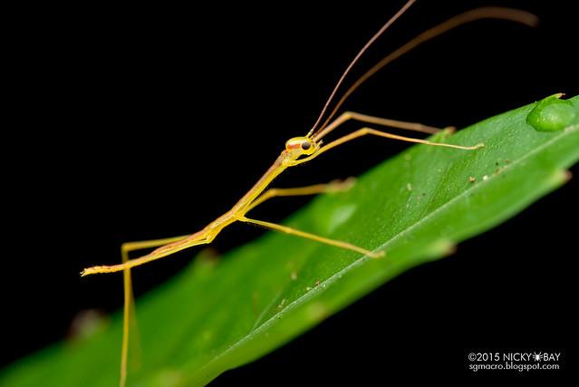 Stick insect (Phasmatodea) - DSC_3727