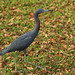 Egretta caerulea, Hillsborough River, Rotary Riverrront Park, City of Temple Terrace, Hillsborough County, Florida 1 by Alan Cressler