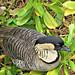 nēnē (Hawaiian goose)